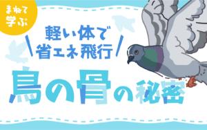 軽い体で省エネ飛行 鳥の骨の秘密